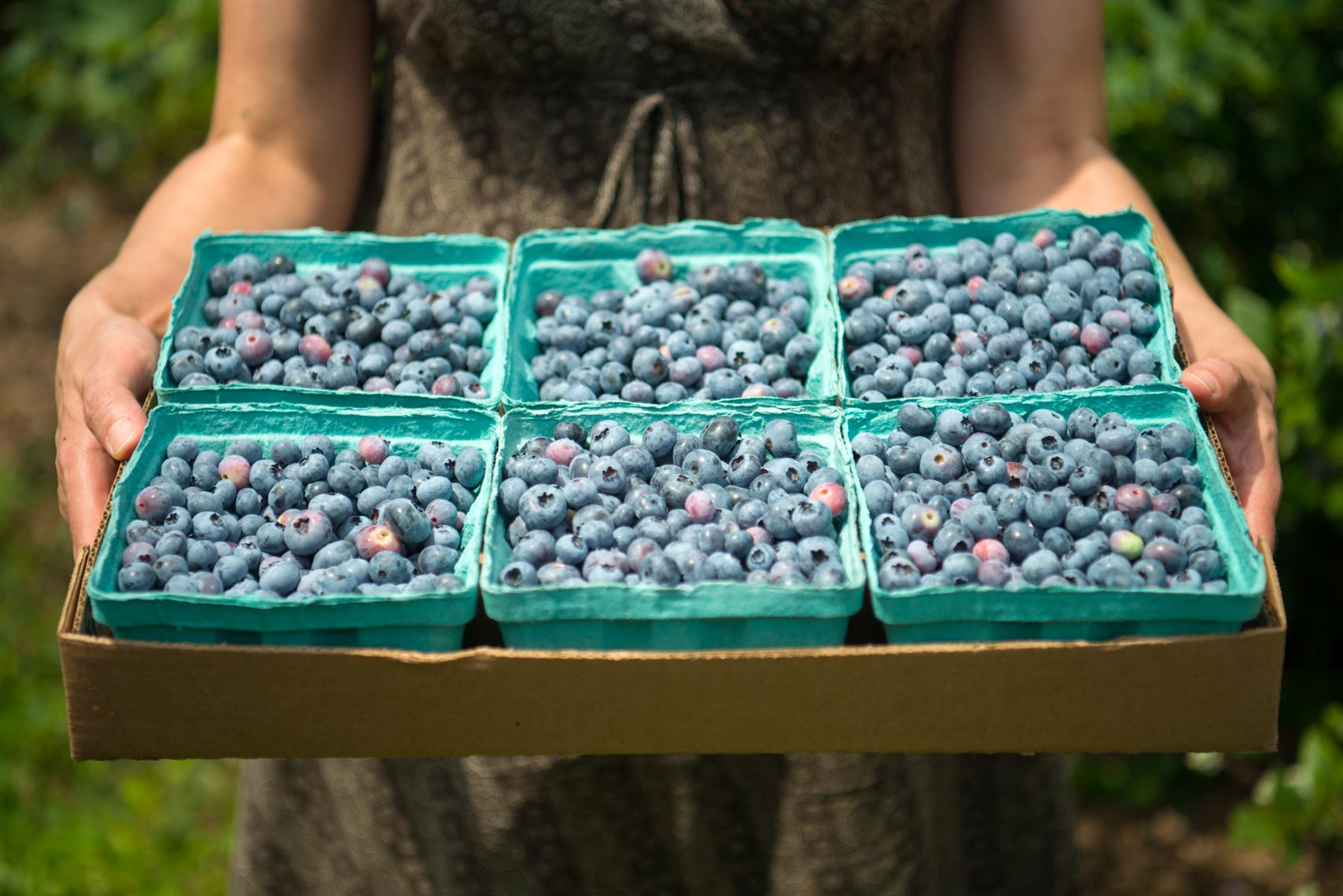 Blueberry Picking - Food Photographer Paul S. Bartholomew